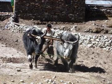 Yak ploughing - planting seed potatoes