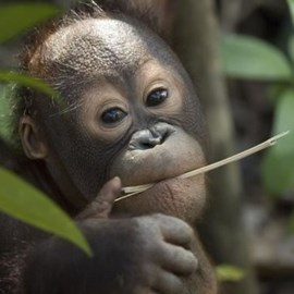 Young Orang-utan in Borneo © Chris Perrett
