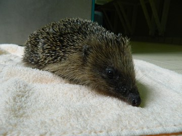 One of our too small to hibernate hedgehogs on arrival in the hospital.