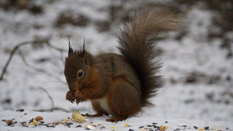 A red squirrel in snow by Sarah McClay