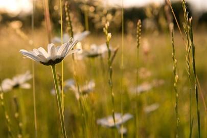 Daisies by David Kilbey