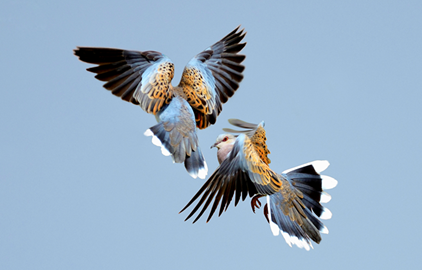 Two magnificent Turtle-doves take to the air… but could this be their last flight?