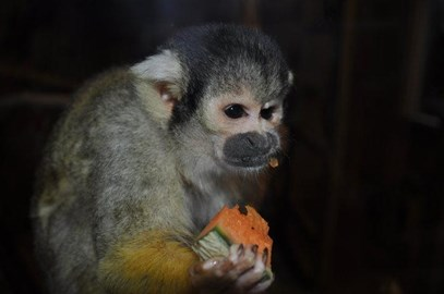 Rolo The Squirrel Monkey