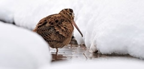 Woodcock in snow