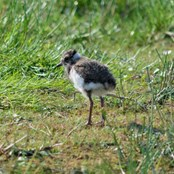 Lapwing chick. Photo by John Buckingham.