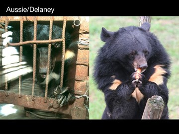 Moon Bear Aussie Delaney before and after