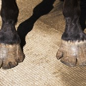 Catena's hooves were over grown and cracked