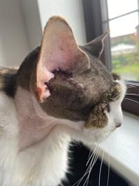 Spots ears post operation