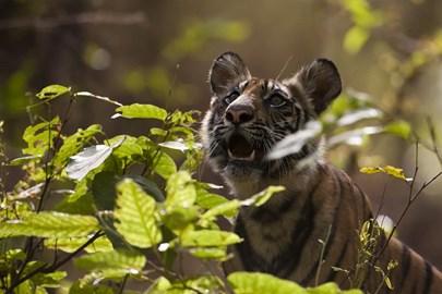 Six month old tiger cub in Bandhavgarh