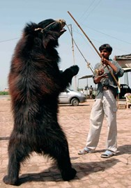 A bear is forced to dance