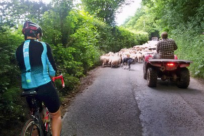 We helped the dogs corral the sheep down the road