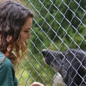 A volunteer with WCC ambassador wolf, Zephyr