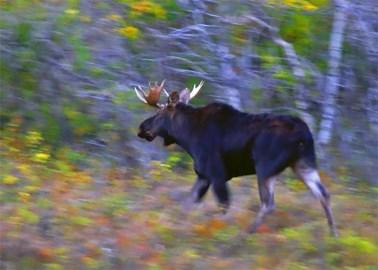 A Moose Running