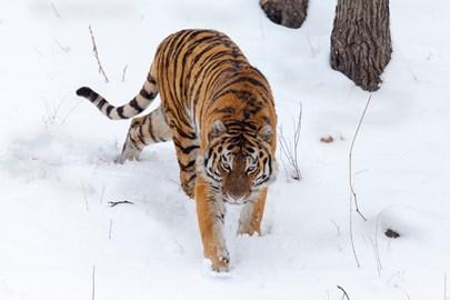 Amur tiger © Alexander Ratnikov