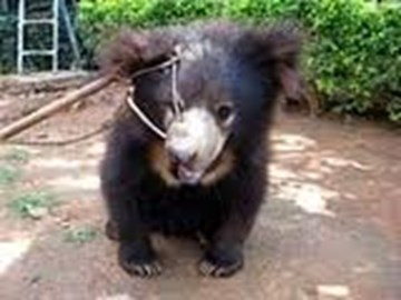 Bear cub with a rope piercing its snout