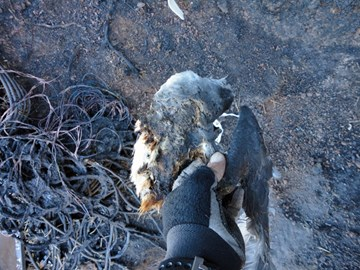 A dead Zinos Petrel after the fire.