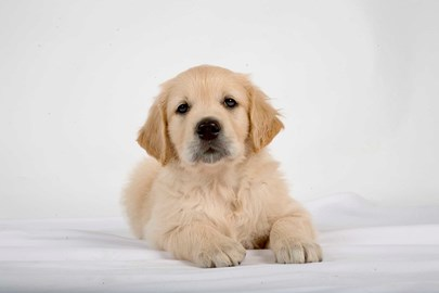 A guide dog puppy