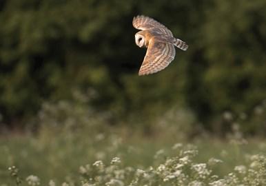 Barn owl by Tony House