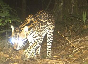 Ocelot - camera trap photo at night