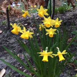 Daffodils 29-02-16