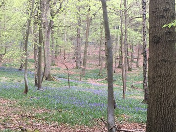 Bluebells in the Lenches