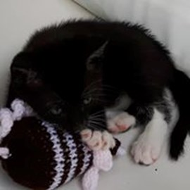 One of a litter of kittens hand reared by a fosterer