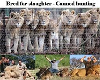Stopping Canned Lion Hunting