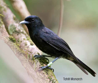 Adult Tahiti Monarch are jet black.