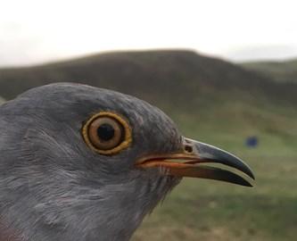 Cuckoo 2: (Captain) Khurkh
