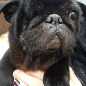 One eyed Pug Trevor dumped near a lake