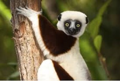 give lemurs a home - replant their forest