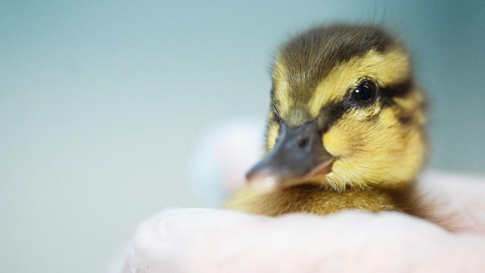 Teach A Baby Duckling To Swim Justgiving