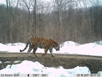 Amur tiger in China © WCS