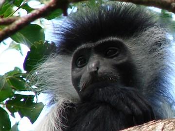 Angolan black and white colobus