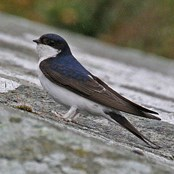 The Amber-listed house martin is one species being helped by our Partners network. Norman Crowson