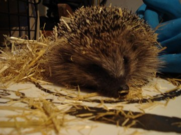 One of the many hedgehogs that we have fostered and released