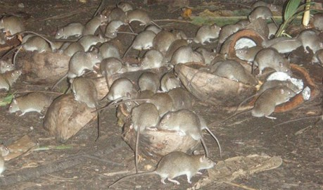 Rat plague on Naqelelevu Island Fiji.