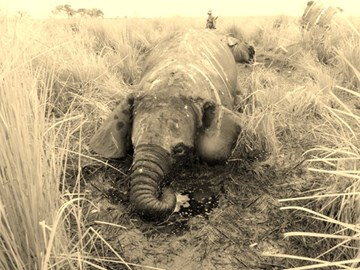 Poached juvenile elephant in Garamba National Park, May 2014 © APN/ICCN