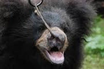 A bear with a rope piercing its snout