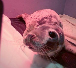 Bonnie the sick seal pup at the GSPCA in Guernsey