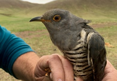 Cuckoo 1: Nomad (Oriental Cuckoo)