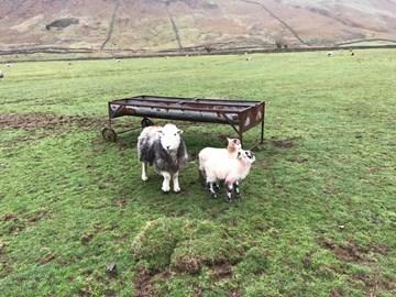 Sheep at the bottom of Bowfell