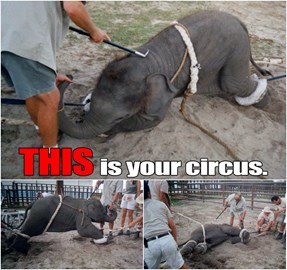 How elephants are beaten into submission in circuses