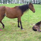 Catena was found having just given birth to her foal, Salisbury, whilst chained by the neck
