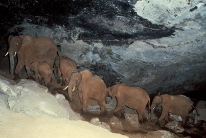 The unique subterranean salt-mining elephants of Mt Elgon, Kenya, are among the elephants Born Free helps to protect by supporting the MEEM Team – see  http://www.bornfree.org.uk/campaigns/elephants/campaign-action/mt-elgon-elephants/ for details.