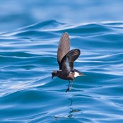 Studying storm-petrels helps understand how climate change may affect their survival. (Ben Porter)