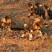 Happy and healthy wild dog puppies - the result of a snare free adult population