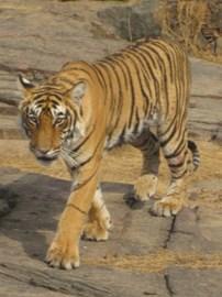 Tiger - Photographer Rakshita Patel