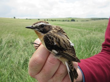 Geolocator on a whinchat