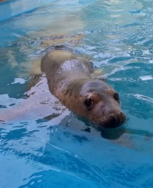 Temperance the seal pup fit enough for her first dip in the GSPCA Guernsey